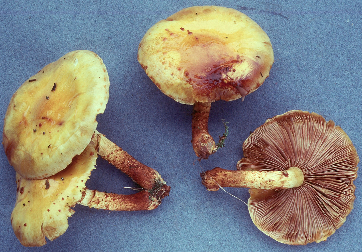 Pholiota aurivella
