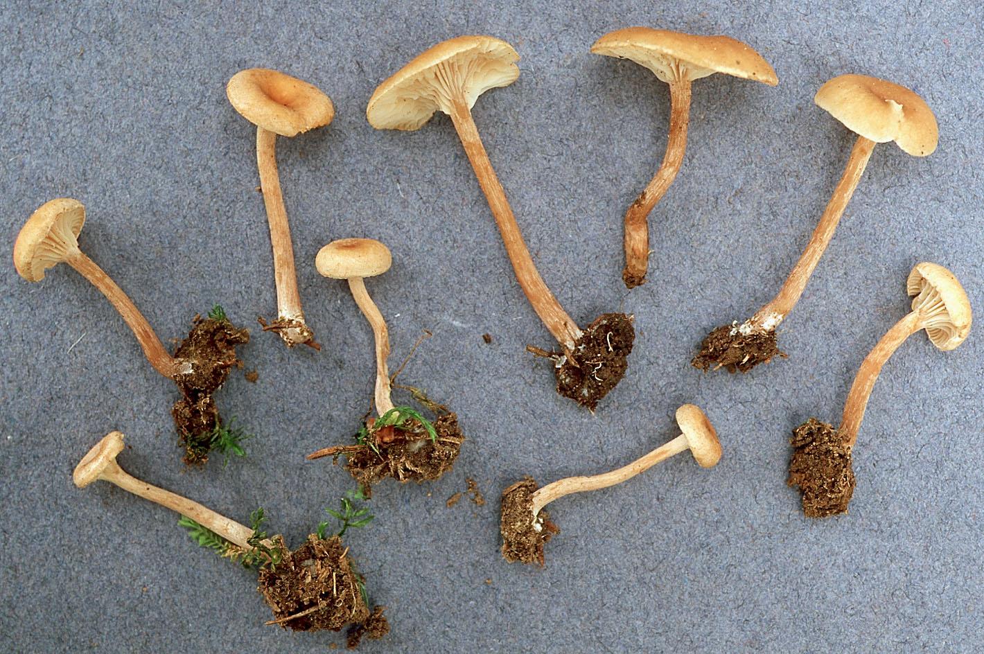 Pseudoomphalina kalchbrenneri