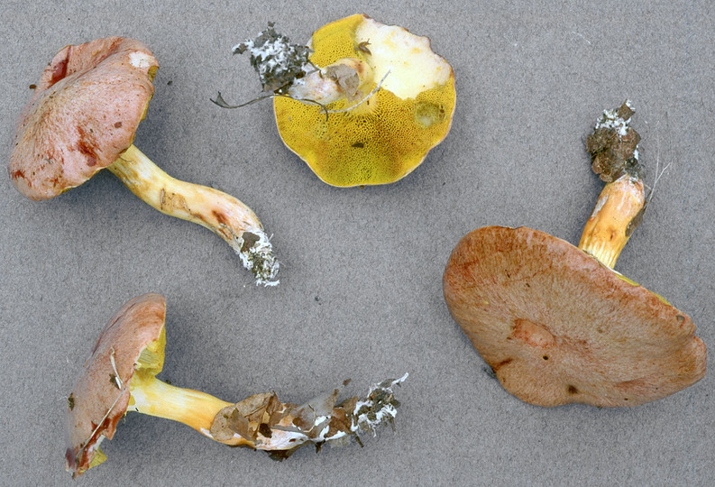 Aureoboletus gentilis