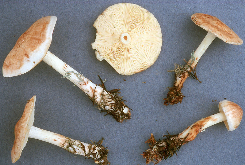 Rhodocollybia fodiens