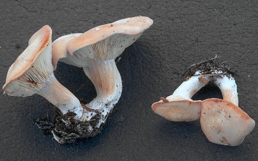 www.stridvall.se/fungi/albums/Rhodocybe/SV11_095.sized.jpg