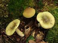 Russula aeruginea