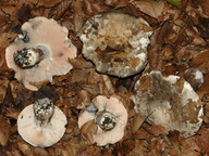 Russula anthracina