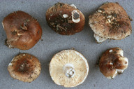 Russula acrifolia