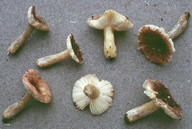 Russula alnetorum