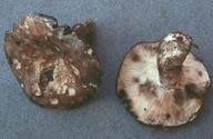 Russula anthracina