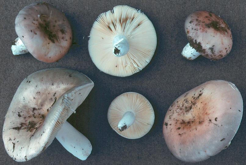 Russula medullata