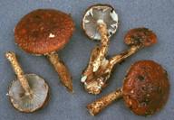 Stropharia albocrenulata