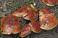 Suillus grevillei