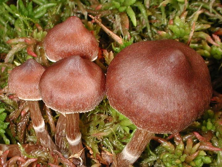 Cortinarius albovariegatus