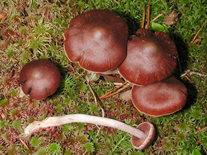 Cortinarius tortuosus