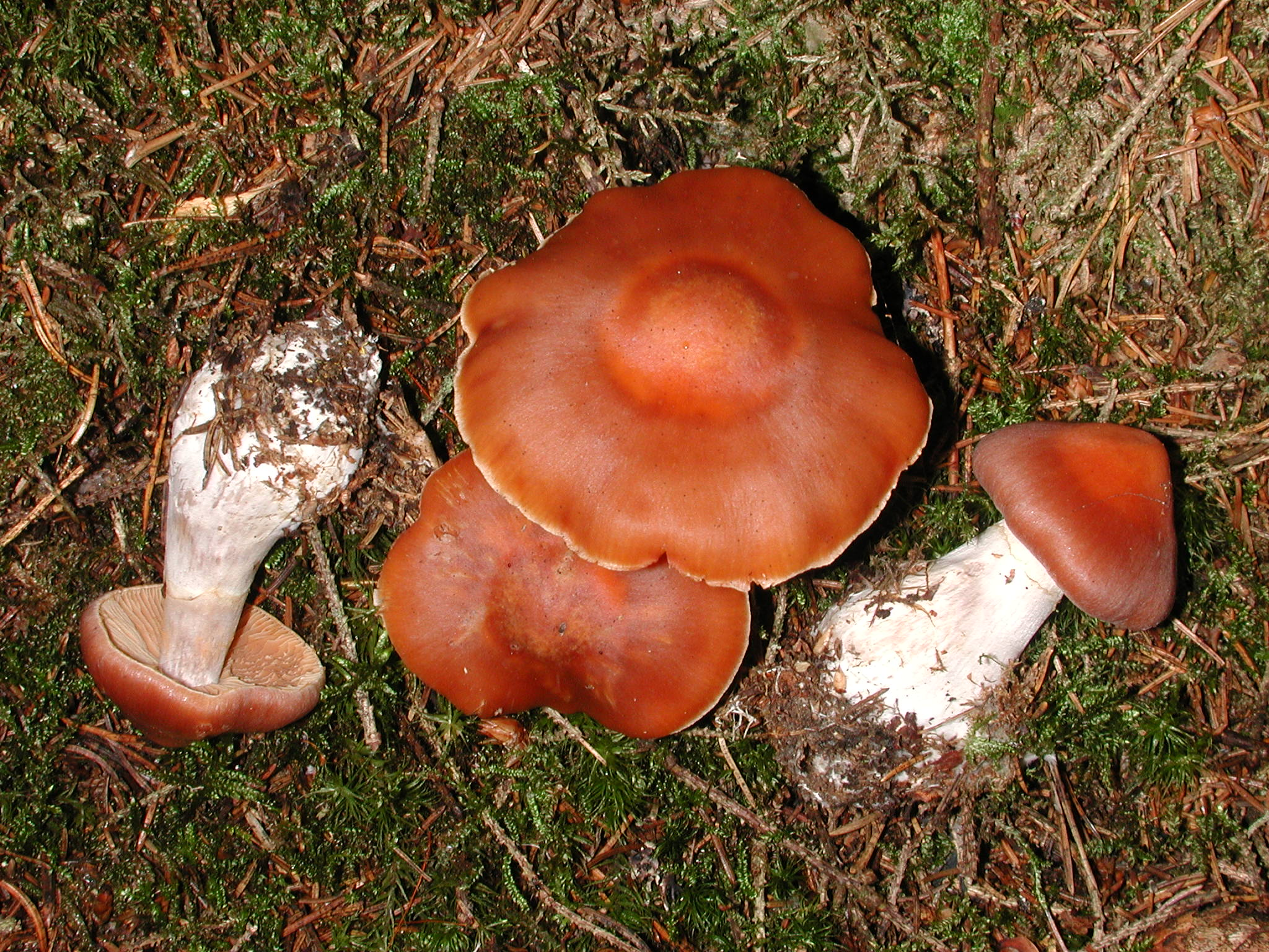 Cortinarius armeniacus