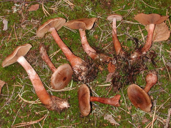 Cortinarius craticius
