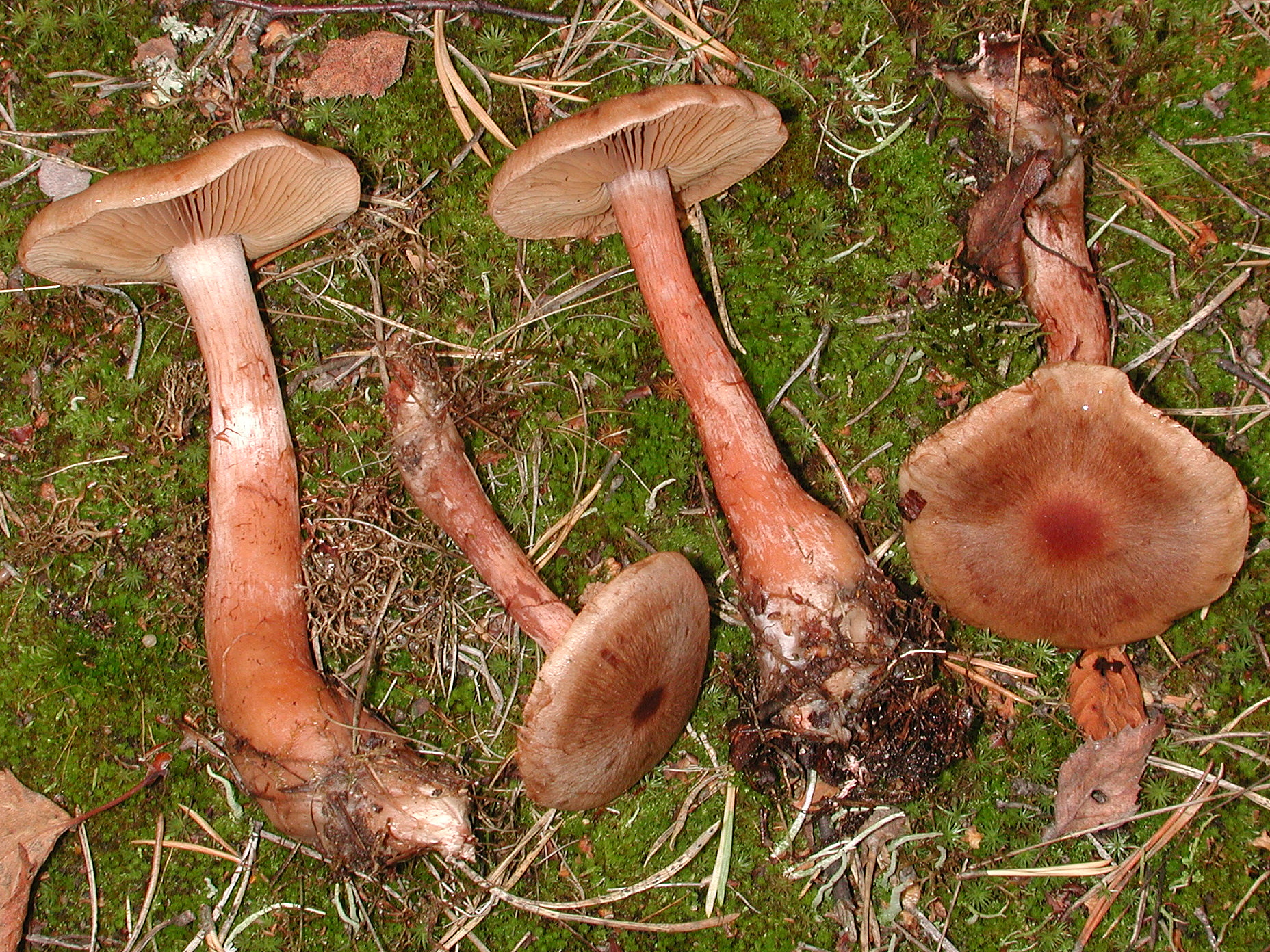 Cortinarius craticius