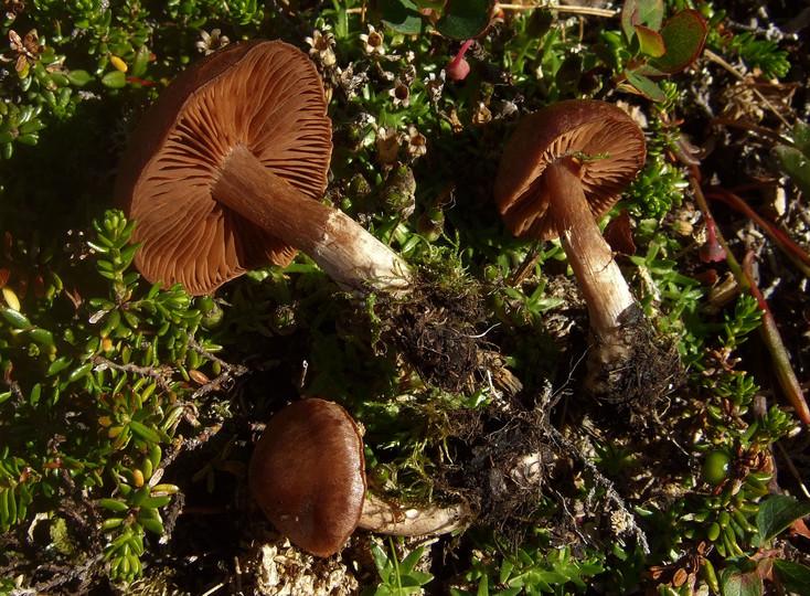 Cortinarius subtorvus