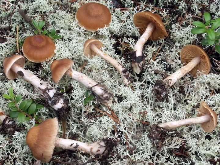 Cortinarius melitosarx