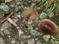 Cortinarius vernus
