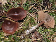 Cortinarius glandicolor
