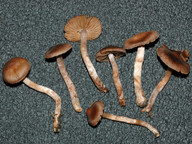 Cortinarius praestigiosus