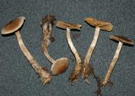 Cortinarius furvolaesus
