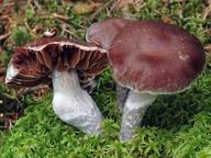 Cortinarius evernius