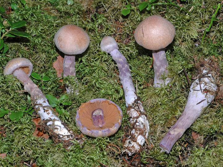 Cortinarius venustus