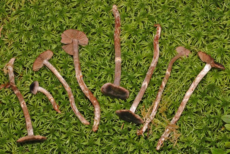 Cortinarius flos-paludis