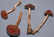 Cortinarius coleoptera aff.