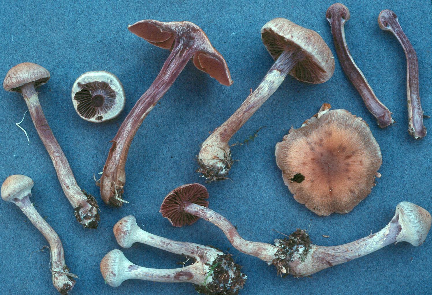 Cortinarius agathosmus