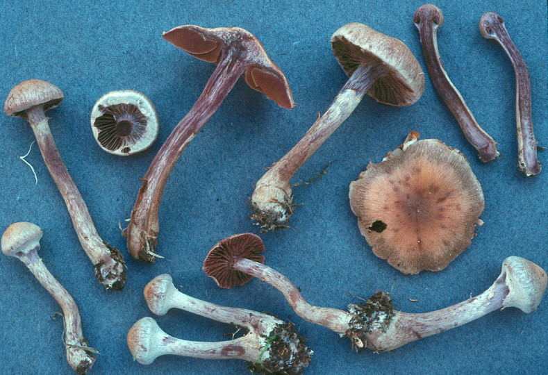 Cortinarius agathosmus