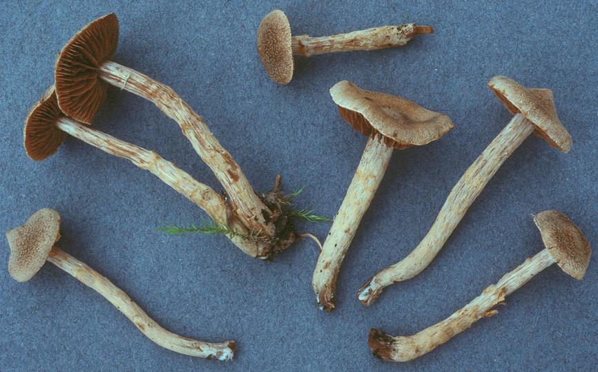 Cortinarius angelesianus