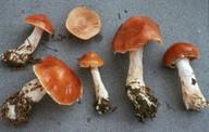 Cortinarius armeniacus