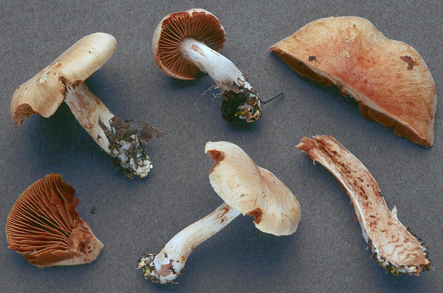 Cortinarius balaustinus