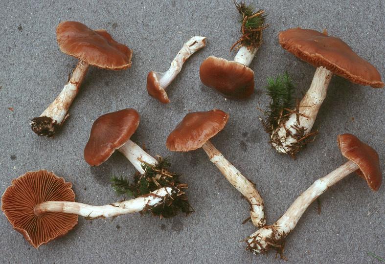 Cortinarius biformis