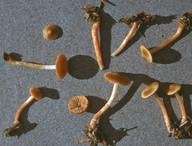 Cortinarius colus