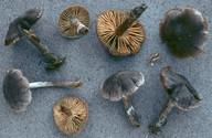 Cortinarius depressus