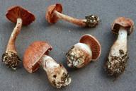 Cortinarius laniger
