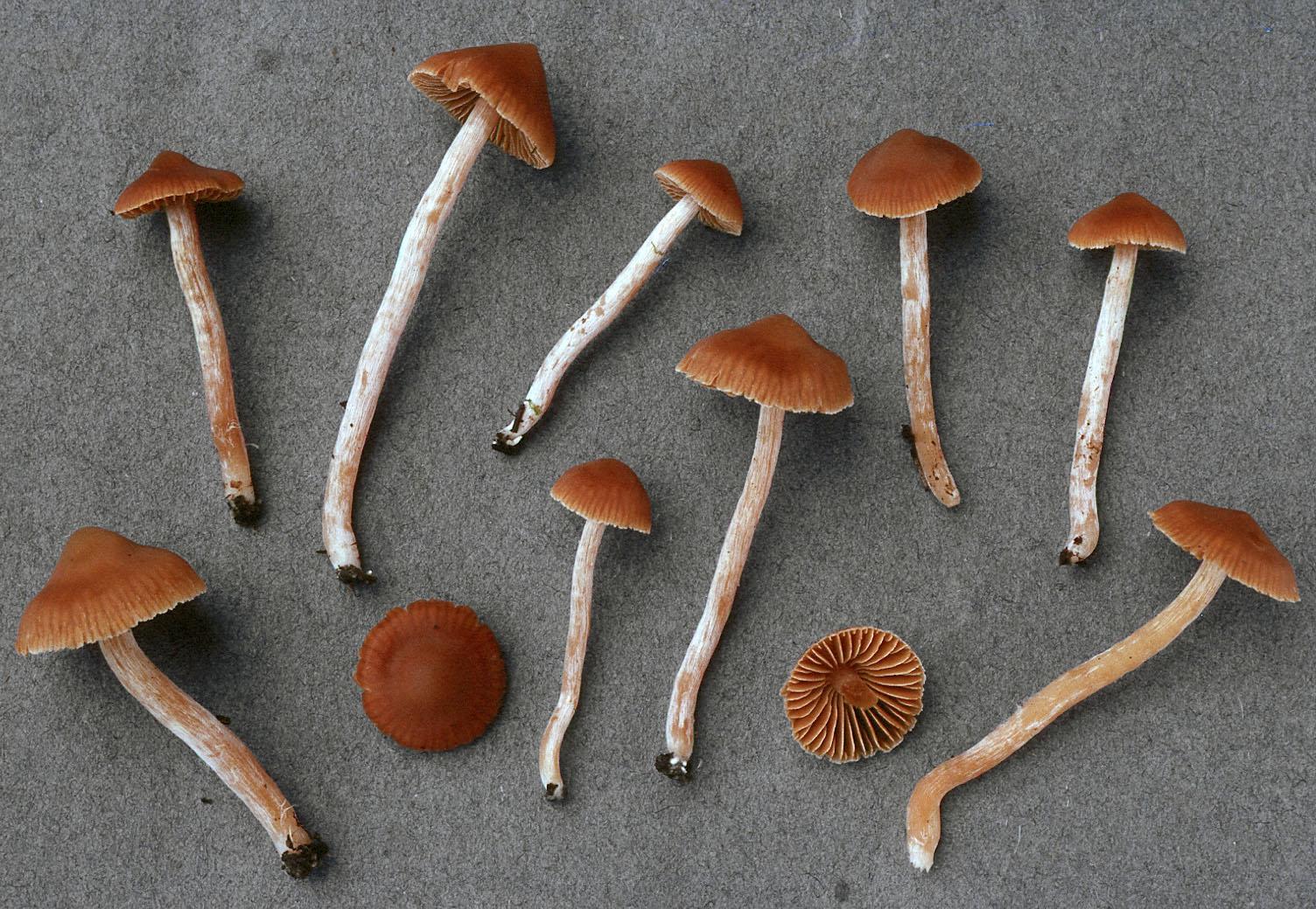 Cortinarius obtusus