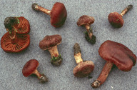 Cortinarius semivestitus