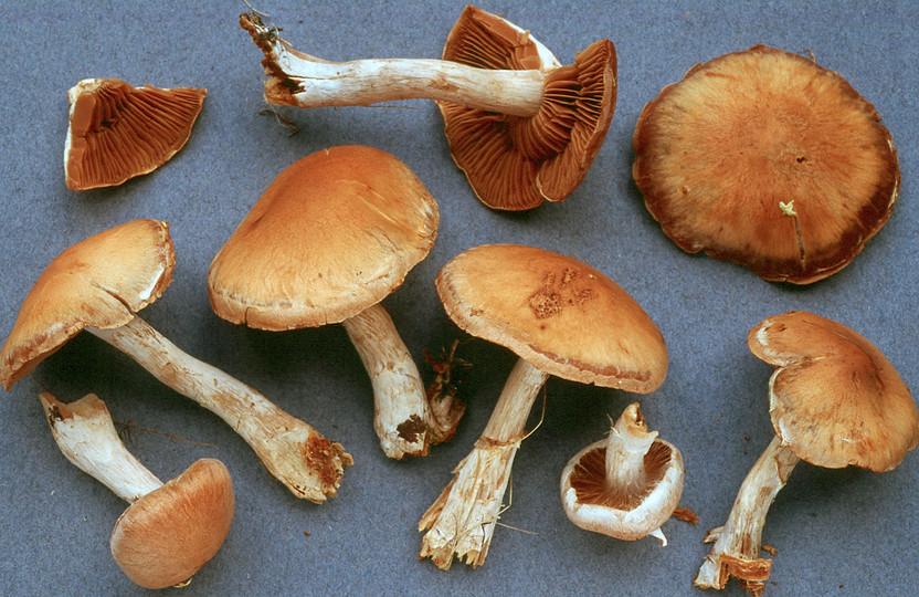 Cortinarius subbalustinus