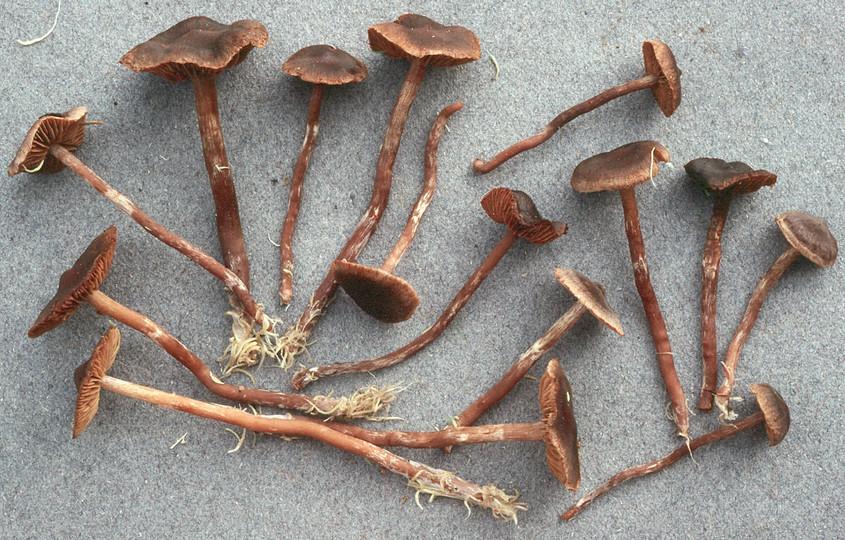 Cortinarius umbrinolens