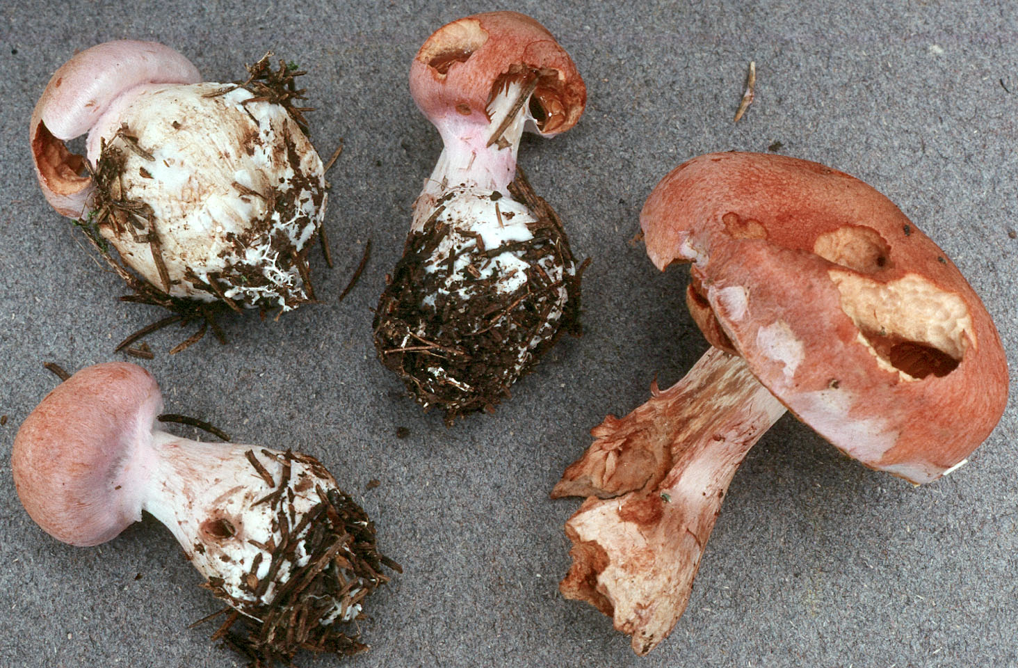 Cortinarius solis-occasus
