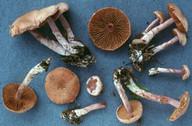 Cortinarius venustus
