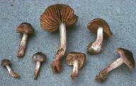 Cortinarius vernus