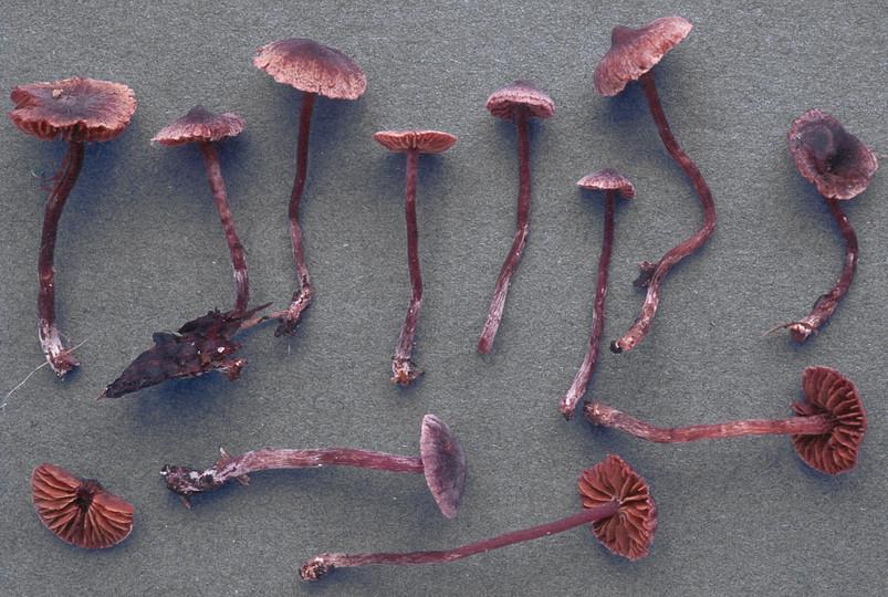 Cortinarius bibulus