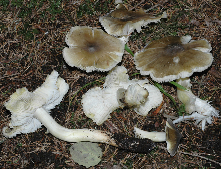 Tricholoma guldenii