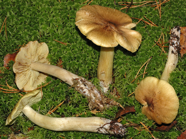 Tricholoma aestuans