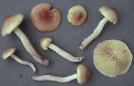 Tricholoma aestuans