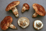 Tricholoma focale