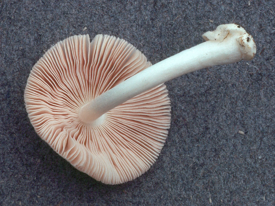 Volvariella murinella